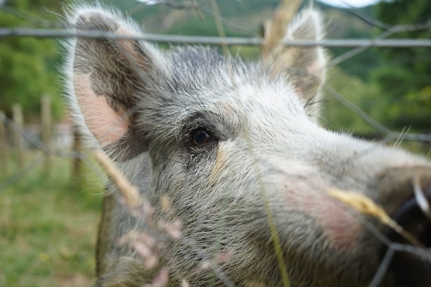 Closeup shot of a gray pig in a farm with wire fences on a cool day