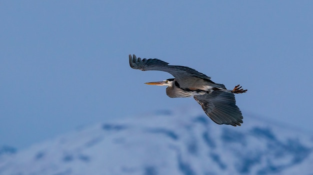 Closeup shot of great blue heron flying over great salt lake in utah