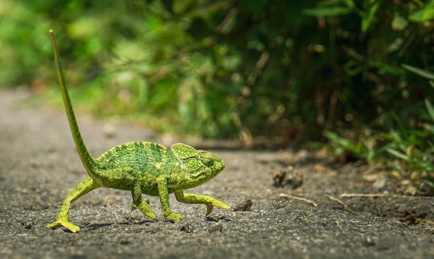 Closeup shot of a green chameleon walking towards  the bushes