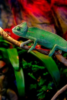 Closeup shot of the green chameleon in the zoo