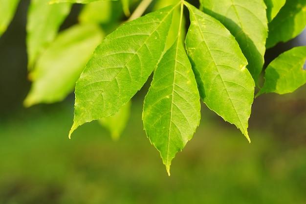 Colpo del primo piano di foglie fresche verdi su uno sfondo sfocato