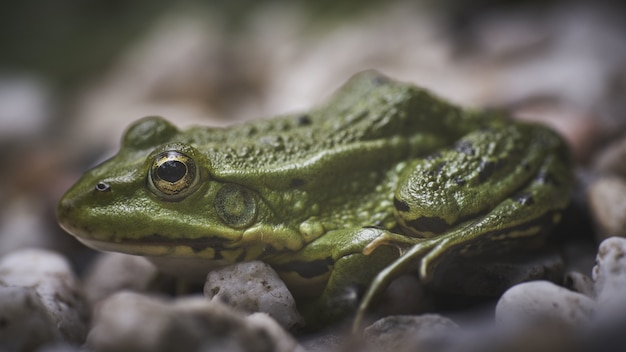 Closeup shot of a green frog sitting on small white pebbles