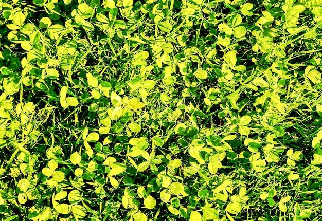 Colpo del primo piano di erba verde nelle isole canarie