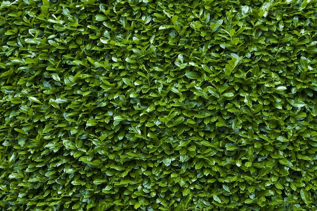 Closeup shot of the green hedge texture background