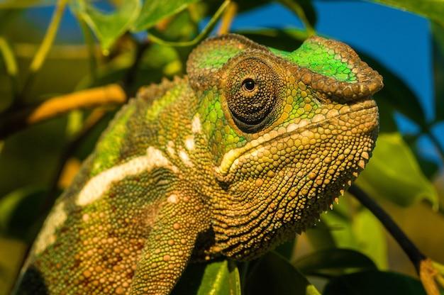 Colpo del primo piano di un'iguana verde