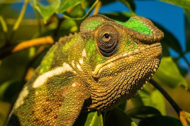 Closeup shot of a green iguana