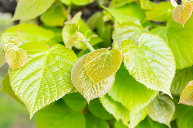 Colpo del primo piano delle foglie verdi di un albero nel giardino che splende sotto i raggi del sole