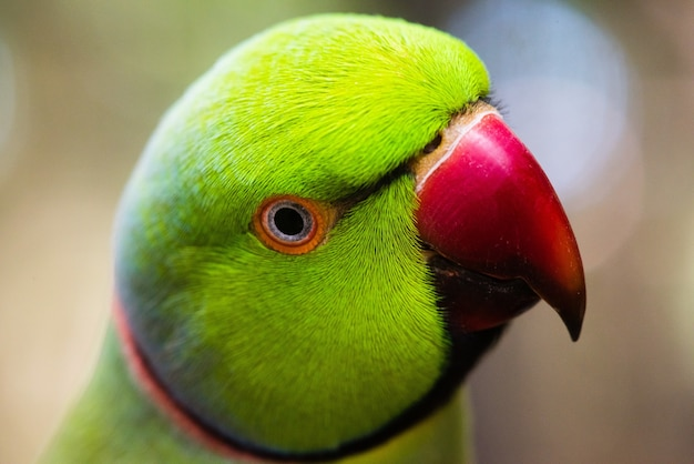 Primo piano di un piccioncino verde con sfondo sfocato