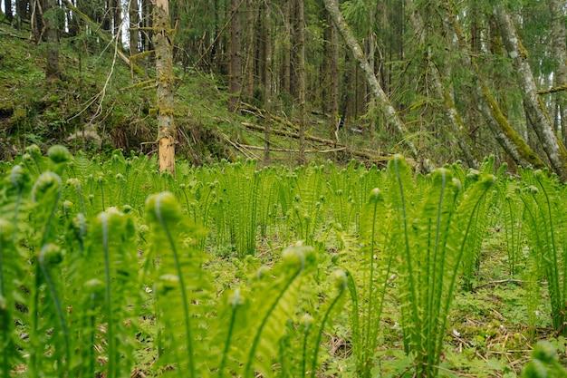 Closeup shot of green ostrich fern plants