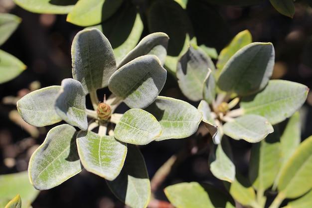 Closeup colpo di rododendro verde foglie su uno sfondo sfocato