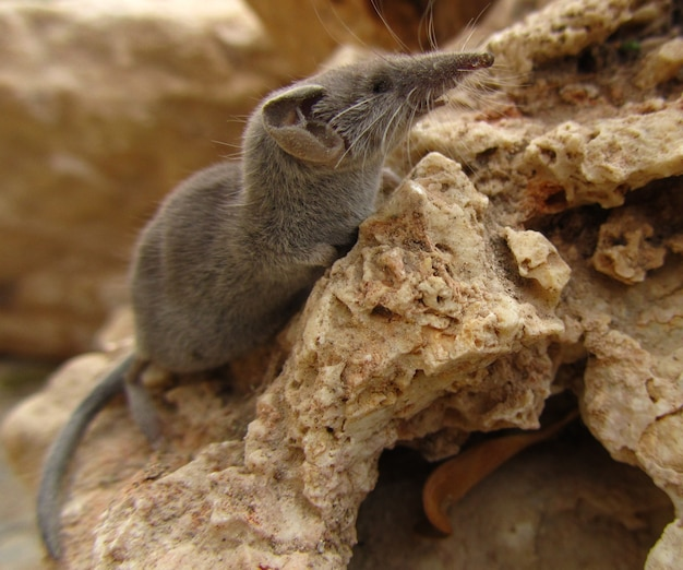 Colpo del primo piano di un toporagno pigmeo grigio dai denti bianchi nelle isole maltesi