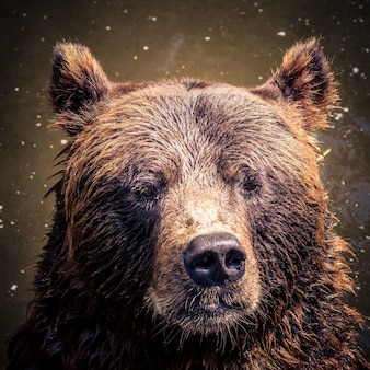 Closeup shot of a grizzly bear just came out from a water - perfect for instagram