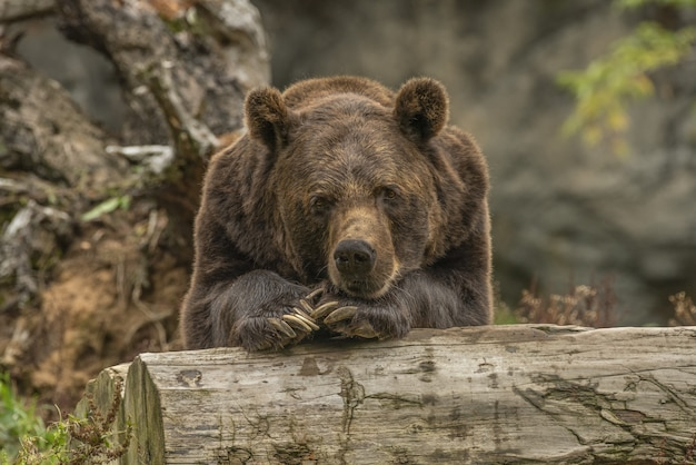 Closeup shot of a grizzly bear laying on a tree