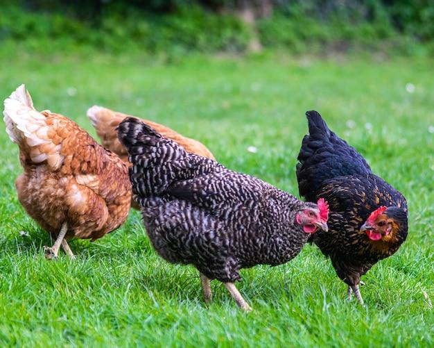 Primo piano di un gruppo di polli che pascolano su un campo