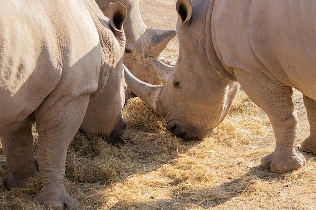 Colpo del primo piano di un gruppo di rinoceronti che mangia fieno con una bella visualizzazione della loro pelle testurizzata