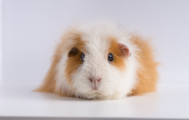 Closeup shot of guinea pig isolated on a white background