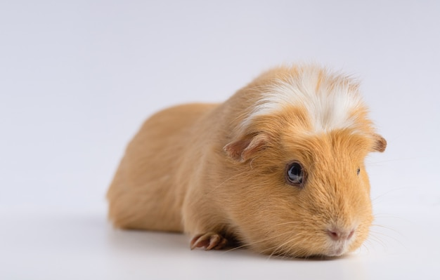 Closeup shot of guinea pig isolated on a white surface