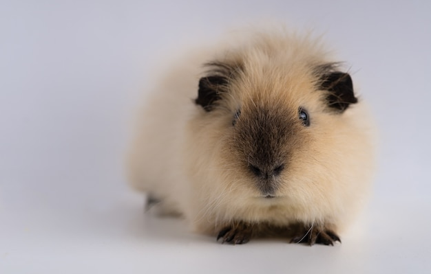 Closeup shot of guinea pig isolated on a white wall