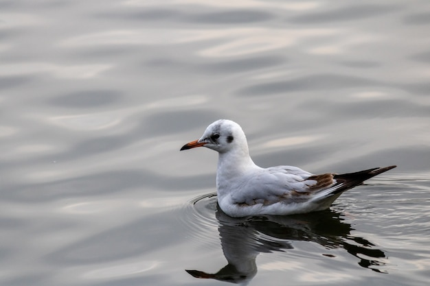 Closeup shot of a gull gracefully swimming in the lake