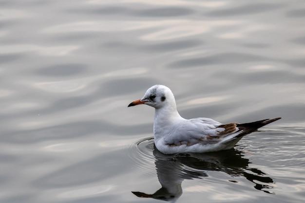 Colpo del primo piano di un gabbiano che nuota con grazia nel lago