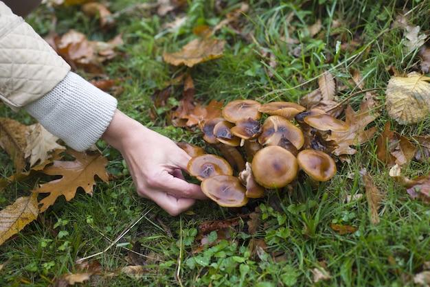 Colpo del primo piano della mano che cattura i funghi nella foresta con erba verde e foglie marroni