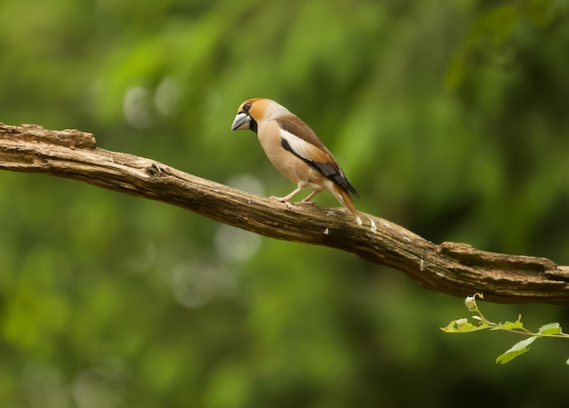 Closeup shot of a hawfinch perched on a branch
