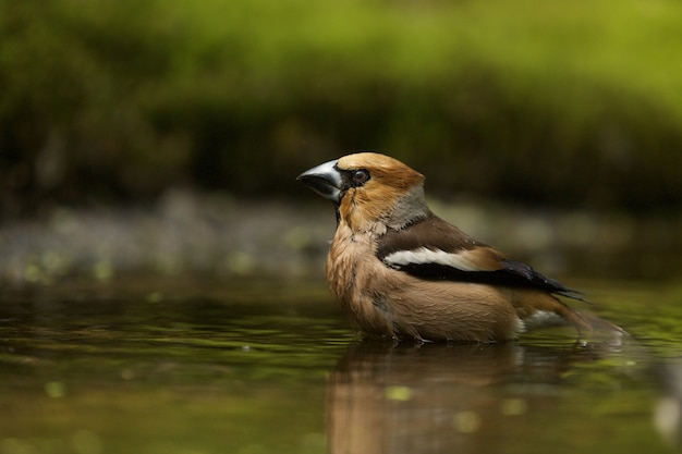 Colpo del primo piano di un hawfinch nell'acqua