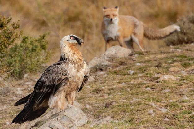 Closeup shot of a hawk next to the fox over the rocky landscape