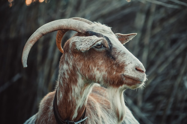 Closeup shot of the head of a goat