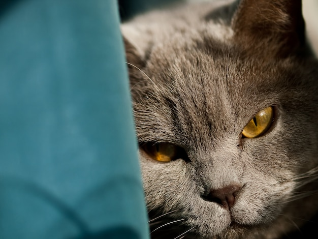 Closeup shot of the head of a gray british cat