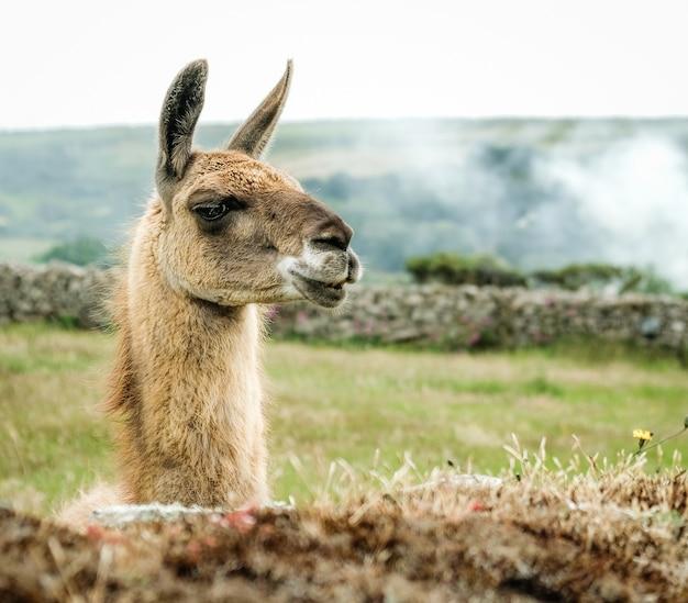 Closeup shot of the head of a llama
