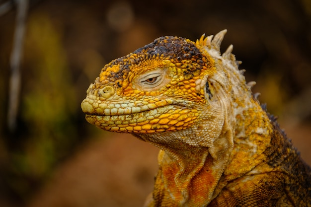 Closeup shot of a head of a yellow iguana