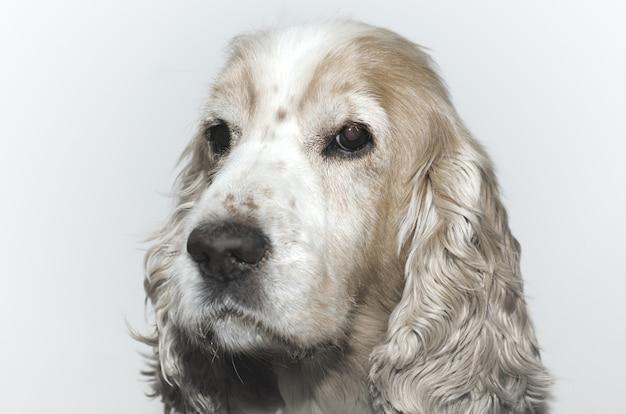 Colpo del primo piano di un colpo alla testa di un simpatico cane cocker spaniel