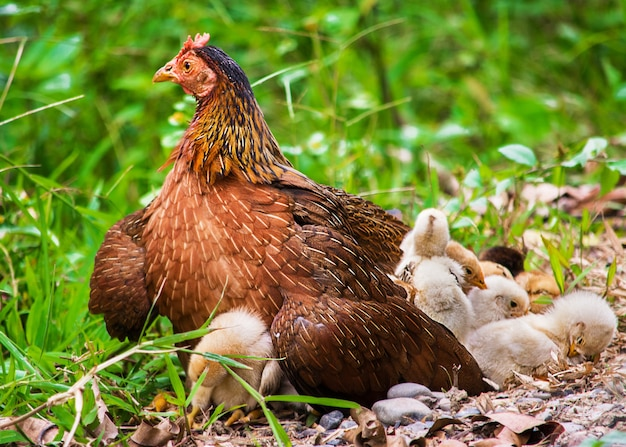 Closeup shot of a hen sitting on the grass with its chicken