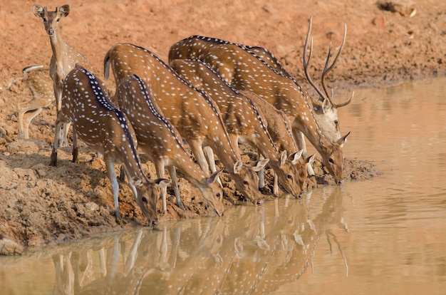 Closeup shot of a herd of beautiful deer drinking water from the lake