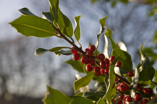 Closeup shot of a holly branch with leaves