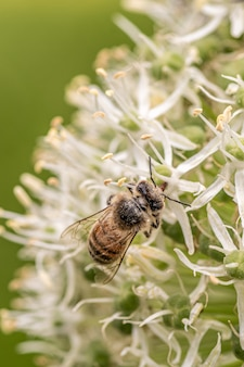 Closeup shot of a honeybee on a beautiful white flower