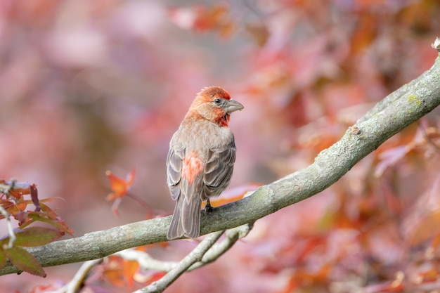 Closeup shot of a house finch in japanese red maple tree outdoors