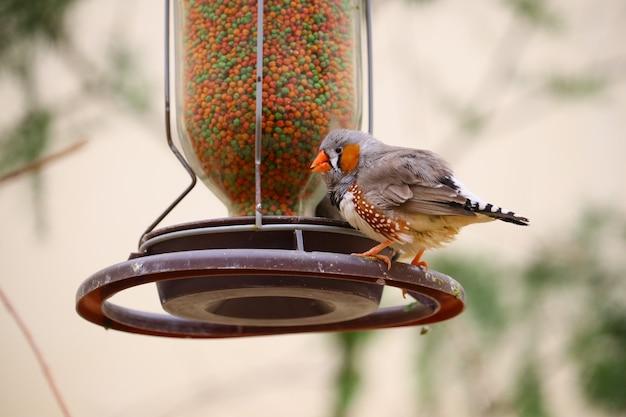 Colpo del primo piano di un fringuello domestico arroccato su una mangiatoia per uccelli