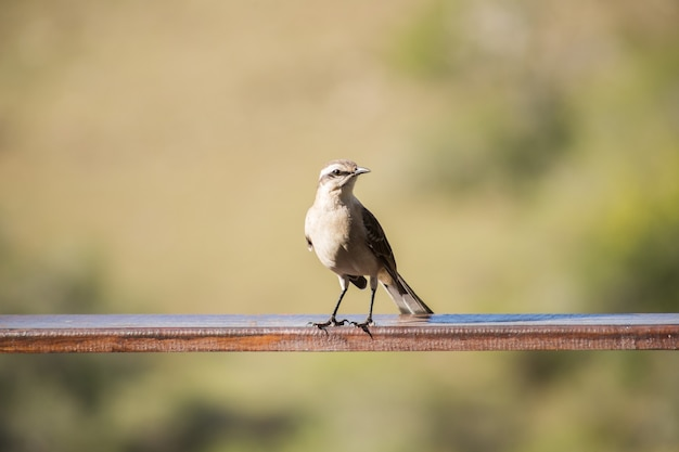 Closeup shot of a house sparrow perched on a metal railing isolated on a blurred background