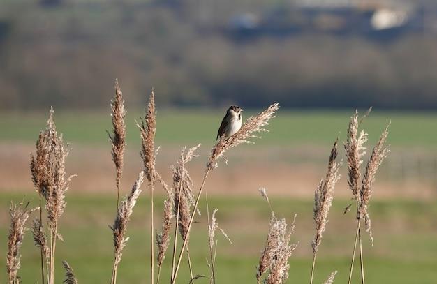 Primo piano di un passero domestico