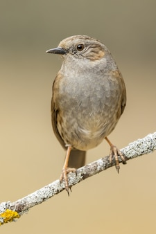 Closeup shot of a house wren perched on a tree branch