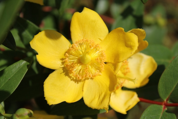 Closeup shot of a hypericum flower with a blurred background