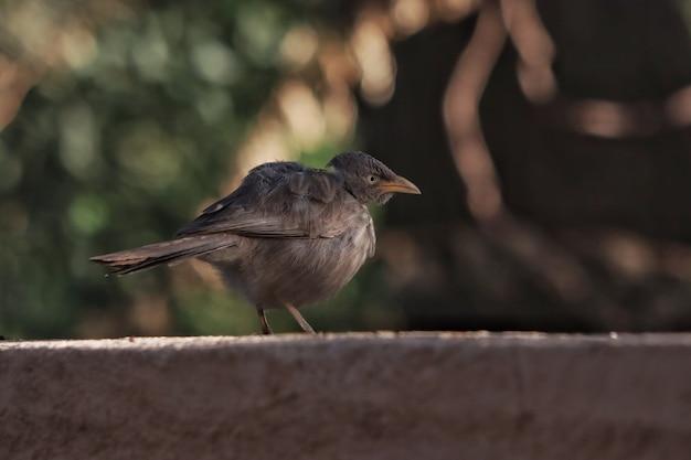Primo piano di un merlo indiano appollaiato su una superficie di cemento con uno sfondo bokeh