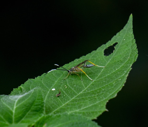 Closeup shot of an insect on a green leaf with a black background