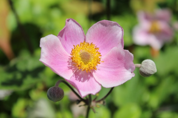 Closeup shot of a japanese anemone with blurred