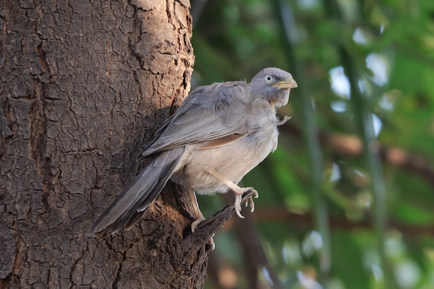 Closeup shot of a jungle babbler perched on a tree branch