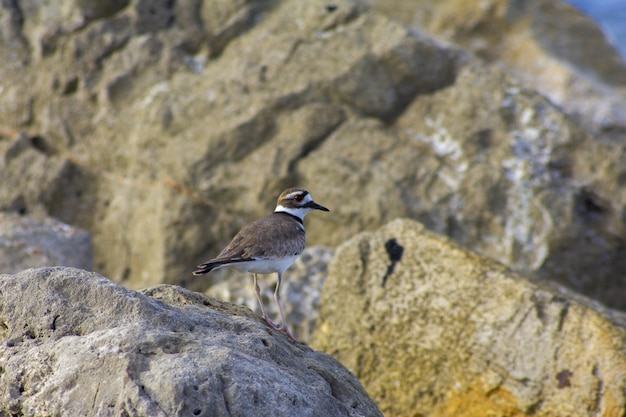 Closeup shot of a killdeer bird perched on a rock by the sea