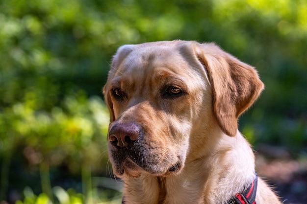 Closeup shot of a labrador retriever