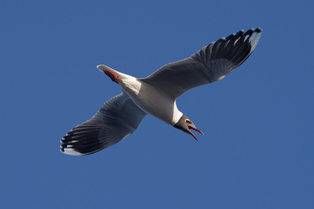 Closeup shot of a laughing gull with the wings spread forward flying